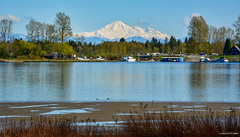 View of Pitt Meadows Marina & Mt. Baker from Tramboulay PoCo Trail (SonjaPetersonPh♡tography) Tags: portcoquitlam ptcoq poco britishcolumbia tramboulaypocotrail canada nikon nikond5200 traboulaypocotrail trail path cycling walking hiking scenic viewpoints mountains dykes pittriver metrovancouver views river shoreline riverbank pittmeadowsmarina boats mtbaker nature birds boating