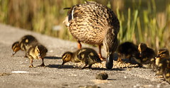 Pecking order (Barry Miller _ Bazz) Tags: ducks chick canon5dmark3 400mmf56l widnes victoriapark outdoorphotography wildlife wildfowl