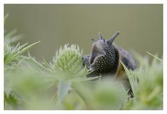 Le réveil - Awakening (isabelle.bienfait) Tags: escargot macro nikond5100 sigma105 isabellebienfait bétahon ambiance proxiphoto gastéropode
