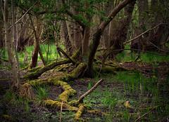 Bog (Colin-47) Tags: bog boggy woodland norfolk colin47 april panasonicdmcg80 olympusmzuiko60mmdigitaledlens 2017 trees earth moss wetland m43 microfoutthirds