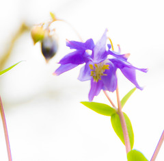 purple flower-0337 (Nick Vidal-Hall) Tags: flower purple delicate fragile white