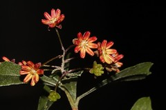 Dodonaea viscosa subsp. cuneata (andreas lambrianides) Tags: dodonaeaviscosasubspcuneata sapindaceae stickyhopbush australianflora australiannativeplants nsw qld vic sa