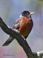 American Robin (BEElwood) Tags: american robin backyard bird nikon d7200 200500mm