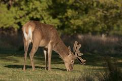 Red-Deer-8088 (Kulama) Tags: reddeer deer stag animals nature wildlife woods grass bracken fern spring morning canon7dmarkii sigma150600563c