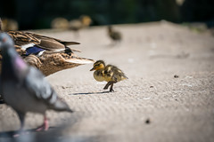 Hey mum wait up! (meccabolix) Tags: fe 70300mm f4556 g oss sel70300g a7rii sony outdoor animal ngc bird botanic gardens southport water chick duckling mallard