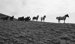 Don't bother us (Goran Joka) Tags: horses horse herdofhorses blackwhite blackandwhite monochrome pasture grass mountain trekking staraplanina midžor serbia srbija silhouette nature outdoor landscape