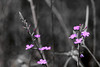 IMG_8382 (wi dodow) Tags: desaturate bw flower pink