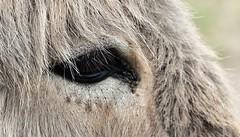 Eye of an Donkey....HMM (wilma HW61) Tags: eye hmm mm oog macromondays eyes occhio œil auge dier animal beast ezel donkey detail macro animale nederland niederlande nikond90 netherlands natuur nature natur naturaleza holland holanda paísesbajos paesibassi paysbas europa europe wilmahw61 wilmawesterhoud vacht haren behaarung cheveux peli hairs wow