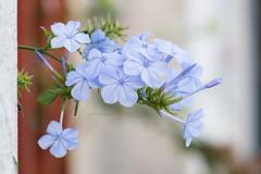 Plumbago (Letua) Tags: flores jazmin plumbago celeste dof flower jasmine lightblue