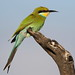 Swallow-tailed bee-eater, Merops hirundineus, at Kgalagadi Transfrontier Park, Northern Cape, South Africa