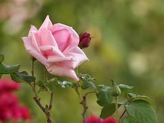 The Beautiful Rose (SivamDesign) Tags: canon eos 550d rebel t2i kiss x4 300mm tele canonef300mmf4lisusm kenko pro300 caf 14x teleplus dgx flora flower rose