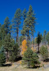 Around Grand Canyon (Lena and Igor) Tags: travel tourism america us usa unitedstates arizona fall autumn nature landscape trees foliage blue sky sunlit pines dslr nikon d7000 nikkor 18300