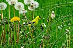 American Goldfinch, Snoqualmie Valley, WA 5/8/17 (LJHankandKaren) Tags: snoqualmievalley goldfinch americangoldfinch crescentlake