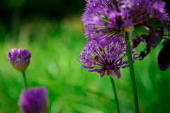 purple and green (jfl1066) Tags: may2017 rugarden middlesexcounty flowersplants purple green spring purble purpleandgreen