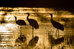 Sandhill crane (Manuel ROMARIS) Tags: bosquedelapache newmexico national wildlife usa reserve sanantonio unitedstates us sandhillcrane ice