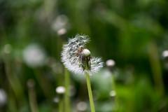 dandelion (bakobela) Tags: budapest hungary city bigcity nature park bird jib dandelion colors spring