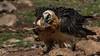 124.1 Lammergier-20170405-J1704-49511 (dirkvanmourik) Tags: corvisser gypaetusbarbatus ineziatoursgierenfotografiereisapril2017 lammergeier lammergier quebrantahuesos spanje vogelsvaneuropa bird