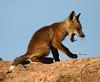 SOOOOOO tired ... (Aspenbreeze) Tags: fox kits foxkit yawn animal wildanimal wildlife coloradowildlife country rural den nature sky bevzuerlein aspenbreeze moonandbackphotography