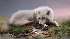 LONELY WOLF (aminekaytoni) Tags: lonely wolf fantasy artistic magic surealisme surrealisme surrealistic light magique loup riviere animale photoshop lightroom