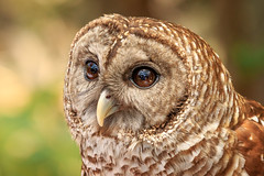 Barred Owl on Earth Day 2017 (James Kellogg's Photographs) Tags: barred owl bird washington oaks state park gardens palm coast st augustine johns county flalger portrait preditor night who
