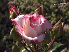 Almería 13 Rosa (ferlomu) Tags: almeria andalucia ferlomu flor flower rosa