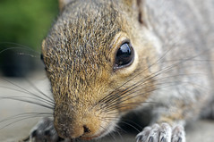 Up Close And Personal (Skyline:)) Tags: squirrel wildlife animal furry fur eyes macromondays member'schoiceintothewoods