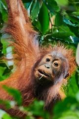 BO1_7489 (lucvanderbiest) Tags: orangoetang borneo maleisië sabah danumvalleywildlifereserve