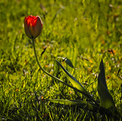The Last Tulip (MrBlueSky*) Tags: tulip flower petal plant outdoor nature garden horticulture colour kewgardens royalbotanicgardens aficionados pentax pentaxart pentaxlife pentaxk1 pentaxawards pentaxflickraward london