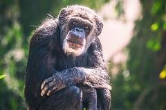 Hey Brother (Thomas Hawk) Tags: animal ape bayarea california sfbayarea sanfrancisco sanfranciscobayarea sanfranciscozoo usa unitedstates unitedstatesofamerica chimp chimpanze chimpanzee monkey zoo us fav10 fav25 fav50