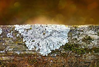 Lichen Doily