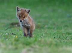 fox cub (Tim Gardner pics) Tags: