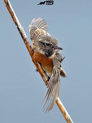 Stonechat (birdtracker) Tags: stonechat wings bird feathers scotland scottish wildlife nature markmedcalf markmedcalfphotography