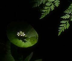 Miners Lettuce (Steve Corey) Tags: minerslettuce wildflower pinnaclesnp rainsoaked ferns hike trail