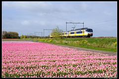 NSR-2936_Hil_22042017 (Dennis Koster) Tags: ns nsr trein personentrein passagierstrein hillegom bollenveld tulpen sgm sgmm 2936