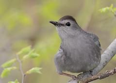 Gray Catbird (JDA-Wildlife) Tags: whatbirdbestofday wow birds nikon nikond7100 tamronsp150600mmf563divc jdawildlife johnny portrait closeup eyecontact centralparknycny catbirdgray graycatbird explore explored