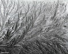 Remembering winter (Setsukoh) Tags: winter art souvenir remember remembering glace ice frost gel arabesque rinceau hiver blanc white black noir gris grey france frankreich lorraine lothringen grandest window fenêtre glass verre feuille leaf nature