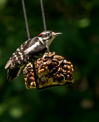Downy woodpecker (Dryobates pubescens) (Karen&Guy) Tags: woodpecker dryobatespubescens downy downywoodpecker