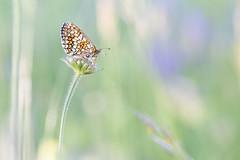 Melité-2.jpg (J-luc 38) Tags: bokeh butterfly insectes macro pap