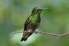 Beautiful Hummingbird (Emma Pollock - Photos) Tags: hummingbird ecuador bella vista rainforest cloud forest green flight travel bird cannon canon