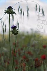 Los vigías (mArregui) Tags: wwwarreguimeluscom marregui amapola amapolas campo campodeamapolas cardillo planta plantas flor flores floración