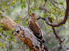Tawny Eagle (xrxss15) Tags: accipitridae africa animalia animals aquilarapax aves birds kiteshawksandeagles krugernationalpark mpumalanga raubadler southafrica tawnyeagle tiere vögel outofacar