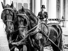 A perfect pair (drugodragodiego) Tags: brescia italy horses cavalli cavaliere blackandwhite blackwhite biancoenero bw manifestazione calesse lombardia pentax pentaxk1 k1 hdpentaxdfa2470mm hdpentaxdfa2470mmf28edsdmwr