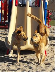 """ Wasn't that fun Bailey ? !! "" (John Neziol) Tags: kjphotography goldenretriever fieldretriever pointynoseddogs interestingdogposes dognose dog dogs pet animal outdoor"