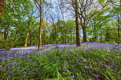 Bluebell Season (scottprice16) Tags: england lancashire ribblevalley whalley wood spring springwood trees bluebells flowers colour may countryside british wide hyperwide voigtlander voigtlanderhyperwide10mmf56 sonya7s