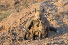 Don't Forget to Take Time and Play This Weekend (Amy Hudechek Photography) Tags: wildlife nature fox kits babies play spring colorado amyhudechek nikon200500f56 nikond500