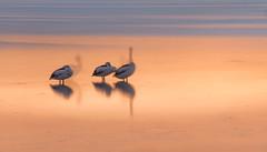 Our-shadow-selves_DSC8593 (Mel Gray) Tags: pelicans slowshutterspeed longexposure lakemacquarie sunset water lake australia eleebana pelipoint