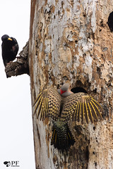 ''Protection!'' Pic flamboyant- Red-shafted (pascaleforest) Tags: oiseau bird animal faune wild widllife québec canada printemps spring passion nikon nature stsulpice pic wood bois arbre nid nest