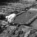 Found Photo - India - Farming.tif