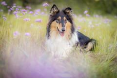 04/52 Sweet Nora (shila009) Tags: nora dog flowers purple sweet green field airelibre animal roughcollie tricolor