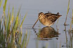 Beccaccino (balboni.antonella) Tags: animali naturalistica fotonaturalistica uccelli avifauna uccello becco natura fauna acqua oasi beccaccino